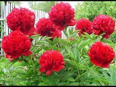 Пионы: тонкости ухода и почему они не цветут