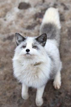 cute fox on Super Cute Animals, Cute Funny Animals, Cute Baby Animals, Nature Animals, Animals And Pets, Cute Puppies, Cute Dogs, Fox Pictures, Pet Fox