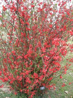 "Flowering Quince / ATTRACTS: Butterflies. Plant with Butterfly Bush which also attracts Butterflies. Plant where you can see from your favorite window. Drought resistant. ""Red"" Flowering Quince will also attract Hummingbirds. by madelinem"