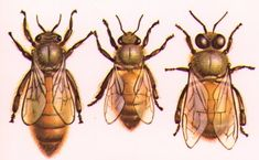 Queen Bee, worker bee, drone - picture to show sizes