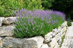 pflanzen fur steingarten lavendel mit purpuren farben pflanzen fur steingarten lavendel mit purpuren farben