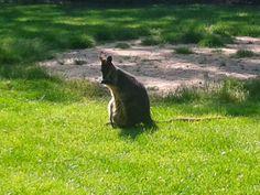 Dierenweetjes: kangoeroe
