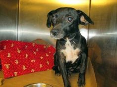 Beanie: Beautiful Chi girl is out of time at high-kill upstate shelter ADOPTED