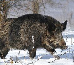 Wild Boar at Alabama, US