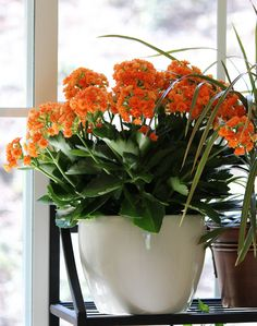 Find This Pin And More On House Plants Care Kalanchoe Blossfeldiana With Orange Flowers
