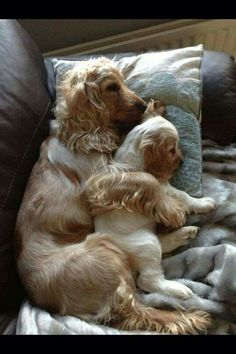 """Click visit site and Check out Best """"English Cocker Spaniel"""" T-shirts. This website is superb. Tip: You can search """"your name"""" or """"your favorite shirts"""" at search bar on the top. Cute Puppies, Cute Dogs, Dogs And Puppies, Doggies, Baby Animals, Funny Animals, Cute Animals, Beautiful Dogs, Animals Beautiful"""