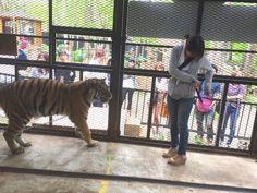 檻の中でトラにエサをあげたり