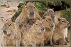 """Capybaras. They kind of have that same """"bitch, please"""" look on their faces that cats sometimes get."""