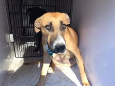11/15/16-HOUSTON - HIGH KILL FACILITY - ALL DOGS URGENT DUE TO OVERCROWDING -This DOG - ID#A472379 I am a male, brown and white Labrador Retriever mix. My age is unknown. I have been at the shelter since Nov 15, 2016. This information was refreshed 29 minutes ago and may not represent all of the animals at the Harris County Public Health and Environmental Services.