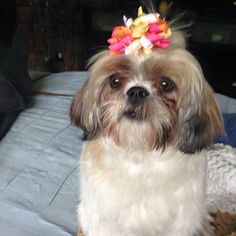 """Sadie is a Shih Tzu and is a little over a year old. Sadie is sporting one of our """"Explosion"""" bows, doesn't she look marvelous?! So happy this sweet girl and her mom found us at Snap-In Dog Bows!"""