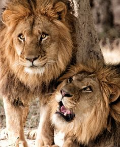 Lions know that brothers, men, uncles, Dads need time to wander in the wild together... #whatthewalrusknows #lion