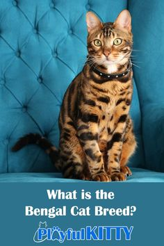 How much do you know about the Bengal cat breed? Check out all of these pawsome kitty facts! #cats Domestic Cat Breeds, Small Wild Cats, Asian Leopard Cat, Egyptian Mau, Kitten Names, Feline Leukemia, Fancy Cats, Bengal, Cat Life