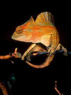 What a beautiful Crested Chameleon!
