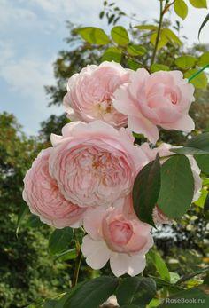David Austin: Wisley 2008 - planted in the backyard spring 2017