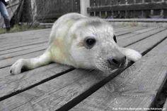 Dzięki relacji na żywo z Fokarium na Helu możemy śledzić jak rozwija nowo narodzony samiec foki szarej o imieniu Neptun.