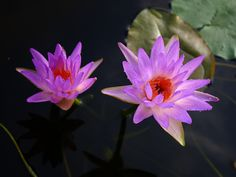 'Turtle Island Fay McDonald'® HXT™ is a newly registered Intersubgeneric nymphaea. The result of selection and hybridization between tropical and hardy nymphaeas highlighting a compact Marliac-Odorata root type. 'Turtle Island Fay McDonald'® HXT™ grows like a hardy waterlily and is a fantastic bloomer.