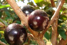 Jabuticaba is a fruit tree that grows in southeastern Brazil. Its also often called Brazilian Grape Tree and its fruits are grown on its trunk. Common in Brazilian markets, jaboticabas ar Fruit Plants, Edible Plants, Fruit Trees, Grape Tree, Grape Vines, Strange Fruit, Tropical Fruits, Exotic Plants, Healthy Fruits