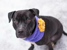"TO BE DESTROYED ~MON 2-24-14 Manhattan Ctr  BOOGER A0991683 FEMALE  BLK/WHT PIT MIX 4 YRS Initially a bit shy, Miss ""B"" has the gracious manners of a family pet, striding by other dogs w/o a fuss & likely house trained. Also the loving friend who gently rests her paws on your lap at the park. She so belongs to a good home, a family. Very sweet & very well behaved, super affectionate. Good walker, nice w/ everyone in sight. A well-mannered companion who would fit in almost any home!"