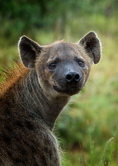 African Wild Dogs Hyena On Pinterest African Wild Dog