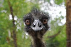 emu | Earnie el emú Foto Gratis