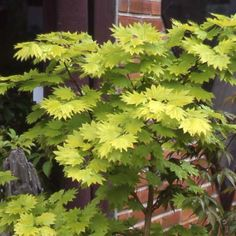 Acer japonicum (shirasawanum) Aureum