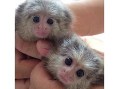 listing Gorgeous Baby Marmoset Monkeys for adopt... is published on Free Classifieds USA online Ads - http://free-classifieds-usa.com/for-sale/animals/gorgeous-baby-marmoset-monkeys-for-adoption-909-296-7704_i25157