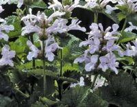 Stachys macrantha Morning Blush
