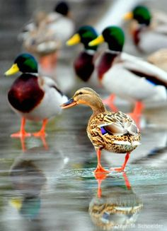 Mallards are so beautifully colored and seem to really be dedicated to each other at least in spring. The males are called drakes and the females are hens.  The bright yellow-billed, with maroon breasts are the males.