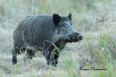 Sangliers - François Ribeaudeau - chasse photo Wild Boar Hunting, History, Fence Ideas, Pigs, Art Ideas, America, Search, Pig Farming, Classroom