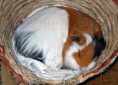 nap time! #cute #guineapig
