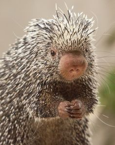 Prehensile-tailed Porcupine