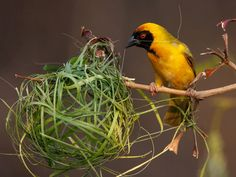 Picture of the day from National Geographic, the Southern Masked Weaver.  A little scary, but mostly sweet.  How I love a beautiful bird.
