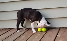 Do your Dogs ever Played with these Squeaking Balls?  Watch this Cute Boston Puppy Play ► http://www.bterrier.com/?p=29875 - https://www.facebook.com/bterrierdogs