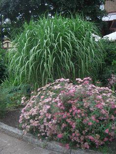 Elefantgress (kinagress). Må ikke overskygges av andre planter, men må ha lavere planter foran for å dekke brune blader...
