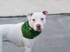 ‼️DEAF & SICK‼️ MAUI TO BE DESTROYED‼️ 12/23/16 - #A1098445 - Brooklyn - FEMALE WHITE AM PIT BULL TER MIX, 2 Yrs - OWNER SUR ON 12/02/16 Reason CHILD CONFLICT - 12/22 CIRDC, START DOXY - NERVOUS, TENSE, TIMID - BECAME MORE SOCIAL AS TIME PASSED & USED AS GREETER DOG