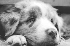 20% Rabatt als Poster: makro hund australisch Schäfer Aussie  Download auf Webseite!  Kategorien: makro, dog, australian, shepherd, aussie