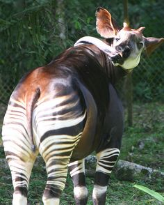 The okapi, a rare animal that lives in the African Congo. My absolute favorite wild animal.