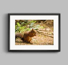 Colour photograph of a red squirrel at Formby Squirrel Sanctuary / seaside / coastal / beach / wall art / home decor / photography