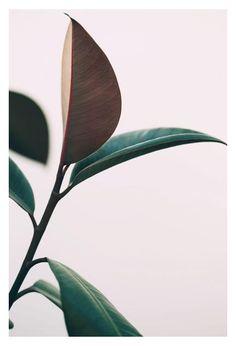 Ficus Elastica #7 -  Fine Art Photograph - 20\x30\ Fine Art Photograph