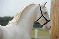 Nice horse with an interesting braid - could use a bigger halter through!