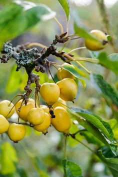 Berries: crab apple (Malus x zumi 'Golden Hornet'). Tasty fruit that are especially good when cooked, with the best fruits produced after a cold winter. Photo by Jason Ingram. For other crab apple varieties, go to http://www.gardenersworld.com/plants/malus-evereste/1400.html