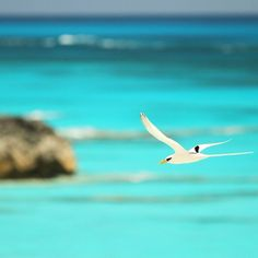 This Bermuda Longtail does a fly-by over Horseshoe Bay Beautiful Islands, Beautiful Places, Horseshoe Bay, Paradise Island, Great Memories, Staycation, Bird Watching, Wonders Of The World, Caribbean