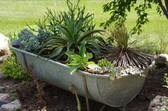 Battered and beat up, this Rustic Galvanized Bathtub has a new lease on life as a container for some lovely healthy succulent plants.