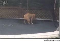 Bulldog playing on a trampoline gif #cute #bulldog #playing #trampoline #animated #gif #entertainment #interesting