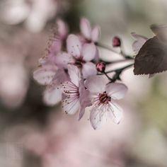 #flowers  #pretty  #blossom #spring #flowerstagram #flowersofinstagram  #flowerslovers #botanical #floral #florals #instablooms #bloom #blooms #floweroftheday #sakura #桜 #さくら  #ig_flowers #superb_flowers #insta_pick_blossoms #bns_flowers #ip_blossoms #myheartinshots #lovely_flowergarden #bns_flowers #ip_blossoms #macro #macrophotography #macro_highlight