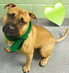 SAFE 1-31-2016 --- Manhattan Center HUCKLEBERRY – A1062784  MALE, BROWN, PIT BULL MIX, 2 yrs STRAY – ONHOLDHERE, HOLD FOR ARRESTED Reason OWN ARREST Intake condition UNSPECIFIE Intake Date 01/12/2016 http://nycdogs.urgentpodr.org/huckleberry-a1062784/