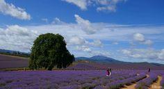 ╭•⊰✿ Fields of Lavender – Bridestowe lavender Estate, Tasmania ✿⊱•╮  Photograph © Ellen Vaman (Bridestowe lavender Estate) www.facebook.com/ellen.vaman1 #EllenVaman #Photography #Lavender #Tasmania #Bridestowe #Flowers #Nature #Travel #Tassiestyle