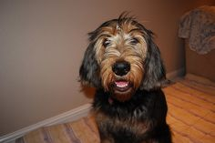 Otterhound puppy
