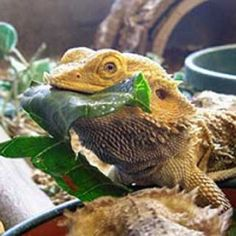 Normal eating behaviour in Bearded dragons Dragon Facts, Bearded Dragon Cage, Pet Turtle, Pet Dragon, Komodo Dragon, Reptiles And Amphibians, Beard Care, Animals Images, Best Diets