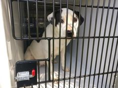 03/15/17-HOUSTON-EXTREMELY #URGENT - This #DOG - ID#A479511 I am a female, white and black Pit Bull Terrier mix. My age is unknown. I have been at the shelter since Mar 15, 2017. This information was refreshed 28 minutes ago and may not represent all of the animals at the Harris County Public Health and Environmental Services. (281) 999-3191